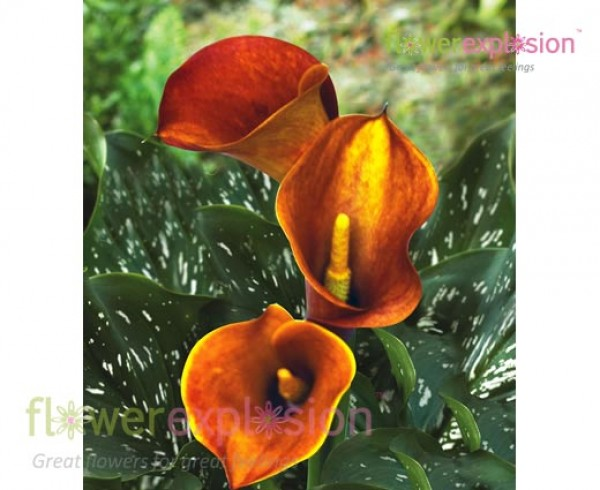 Orange Mango Mini Calla