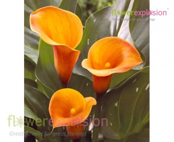 Passion Fruit Orange Mini Calla