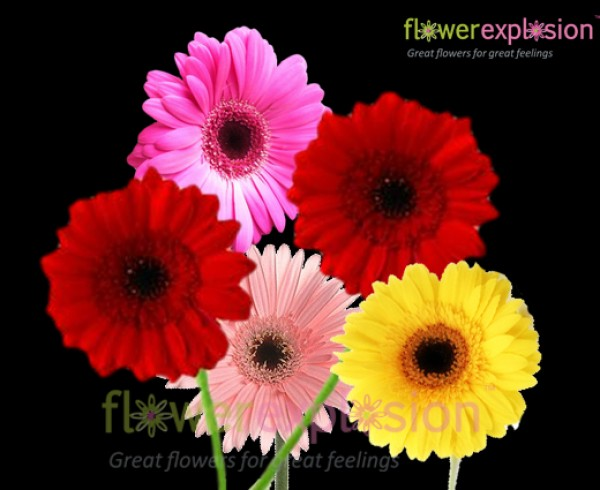 Assorted Colors Mini Gerberas