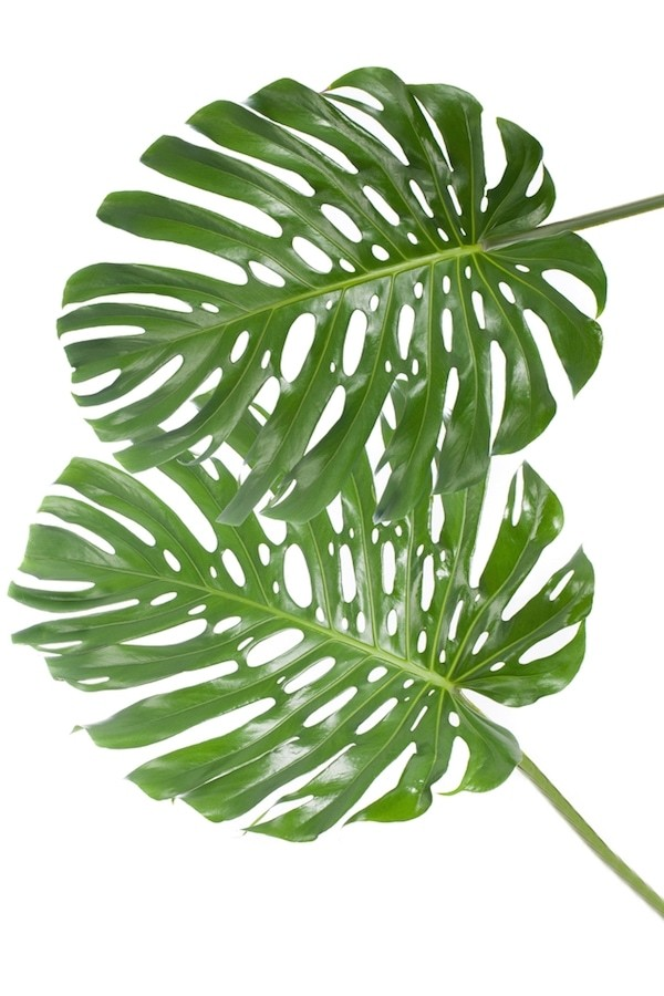 monstera leafs