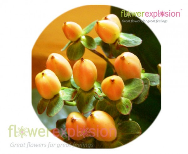 Yellow Peach Hypericum