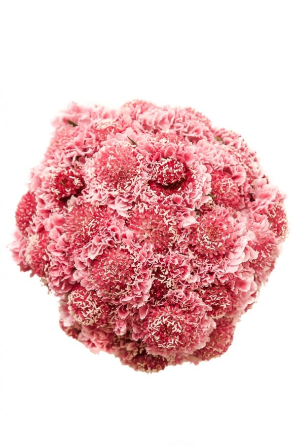 Pink Scabiosas Pincushion
