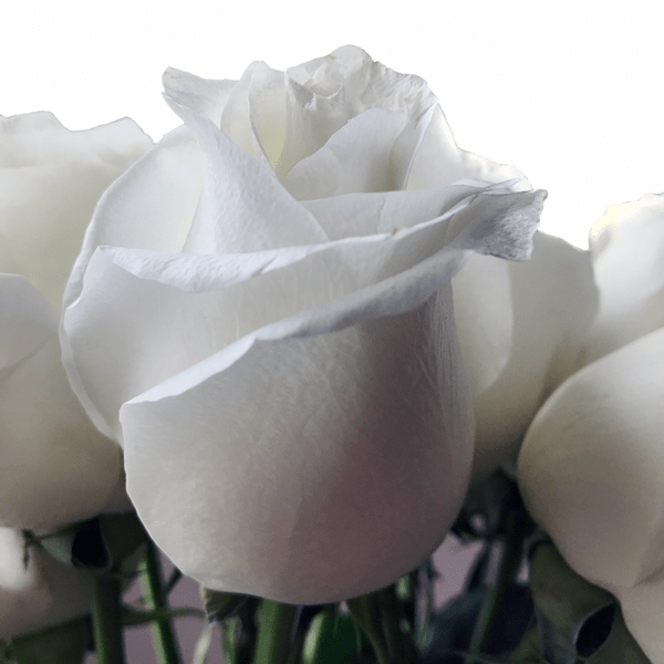 Pure White Rose Proud