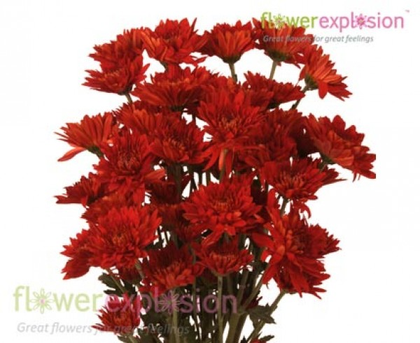 Red Cushion Poms