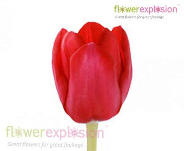 Red Standard Tulips