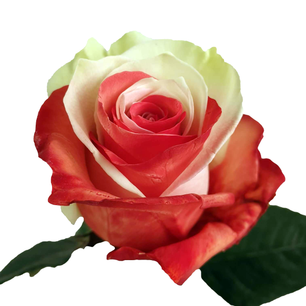 Bicolor Red and White Rose