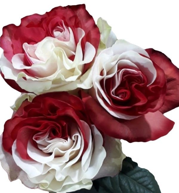 Red and White Tinted Roses