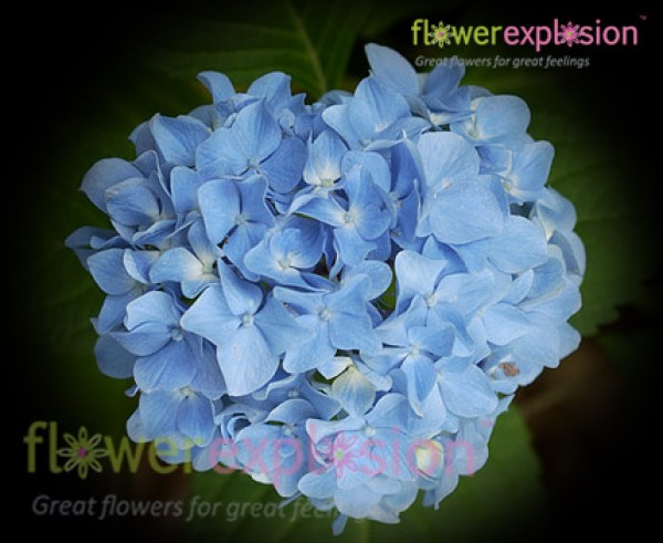 Regular Hydrangea Natural Blue