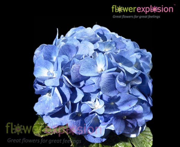 Regular Hydrangea Tinted Blue