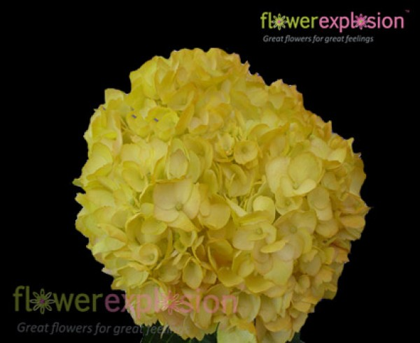 Regular Hydrangea Tinted Yellow