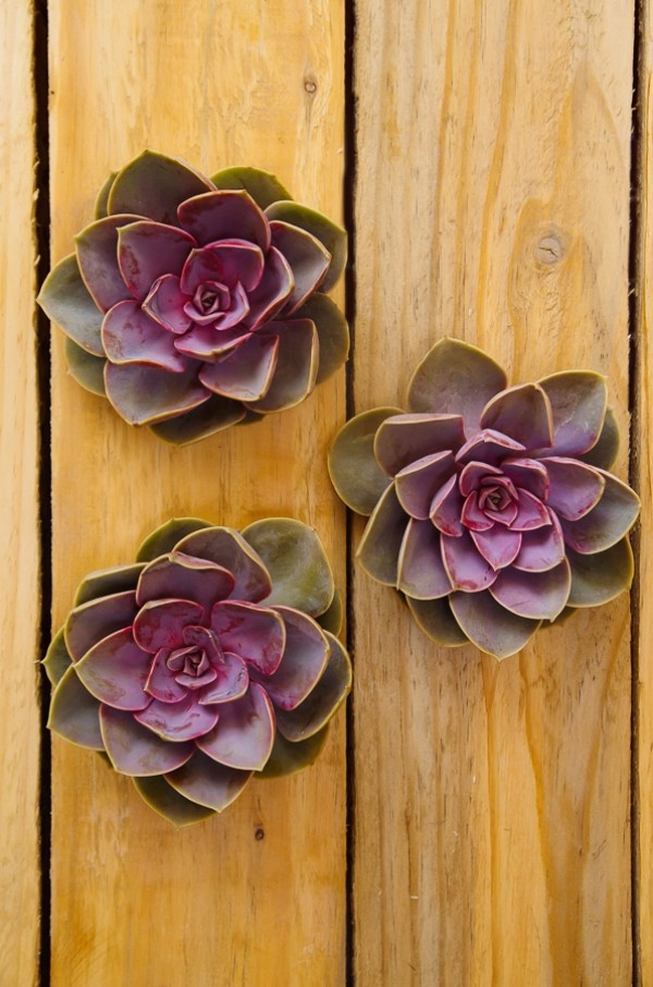 Rose Pink Succulents