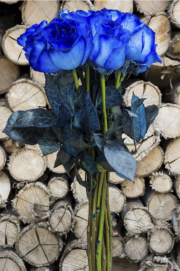 Blue Tinted Roses