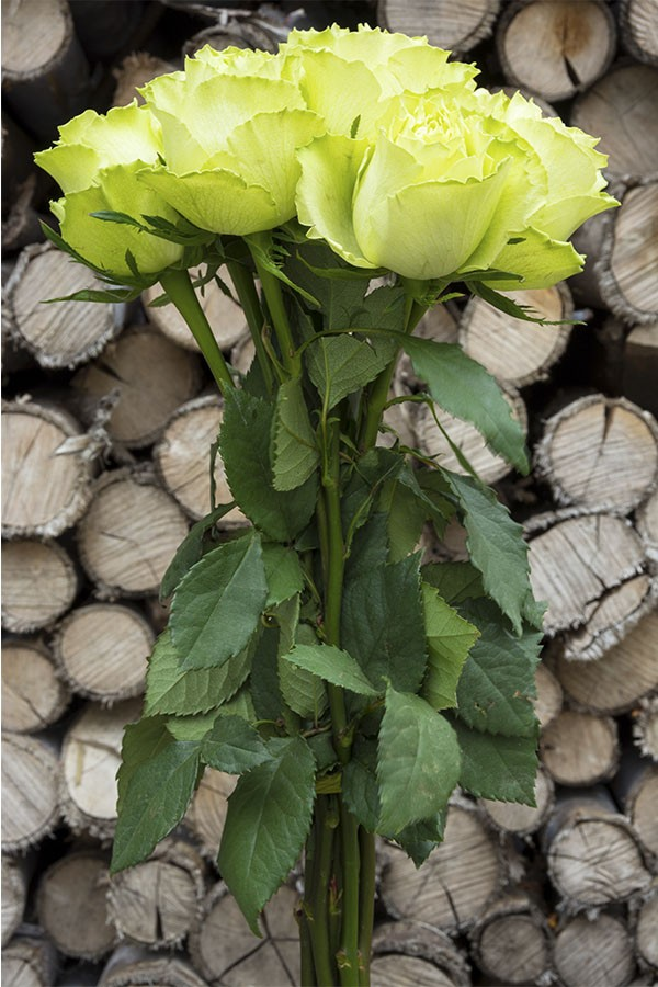 Super Green Garden Rose
