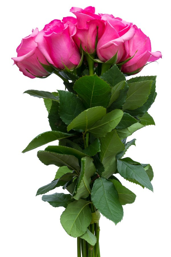 Hot Pink Roses - flowerexplosion.com