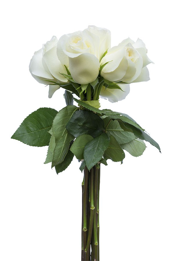 Anastasia white rose bulk wedding flowers flower explosion anastasia white rose mightylinksfo