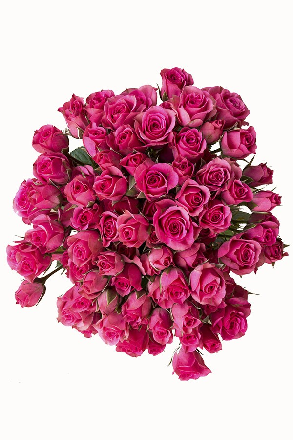 Hot Pink Spray roses