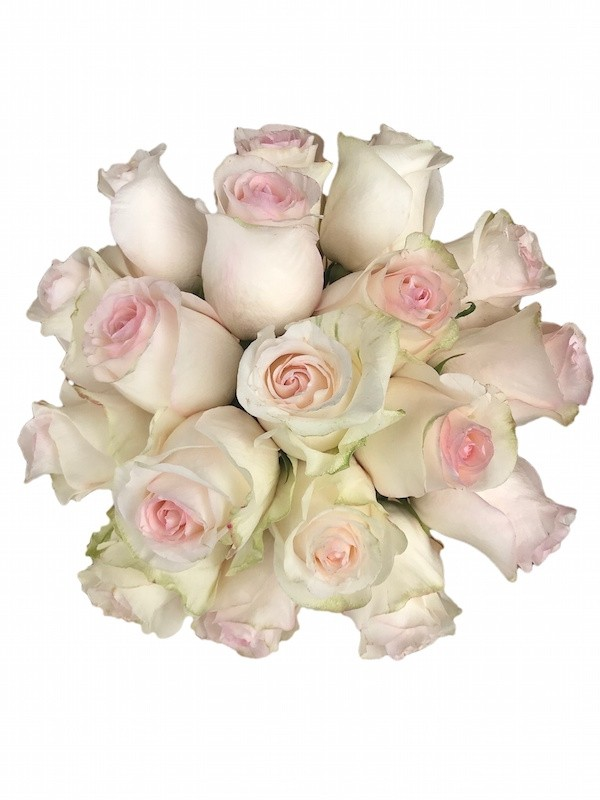 señiorita blush roses