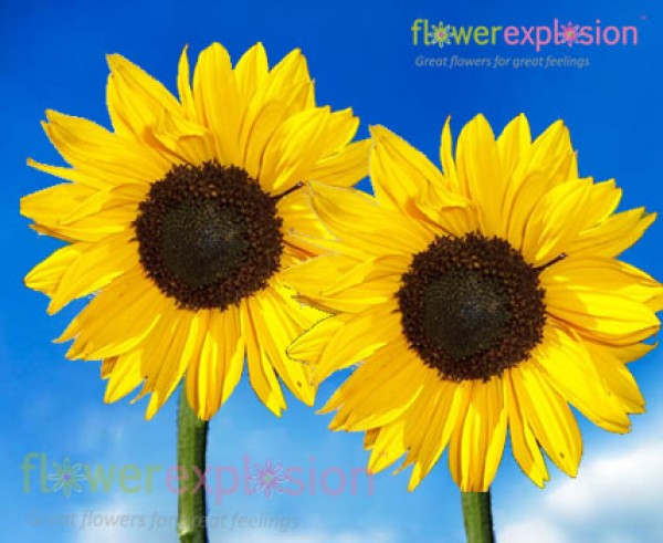 Medium Yellow Sunflowers
