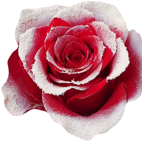 snowy red rose
