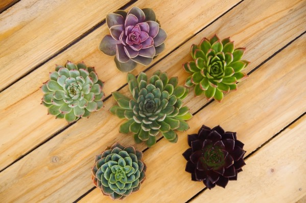 Succulents Combo Package