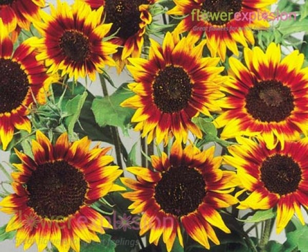 Ring of Fire Sunflowers