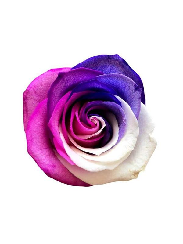 tricolor pink white purple rose