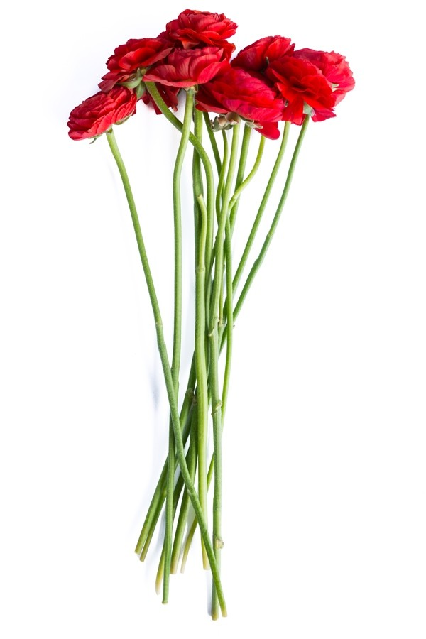 Red Ranunculus Stems