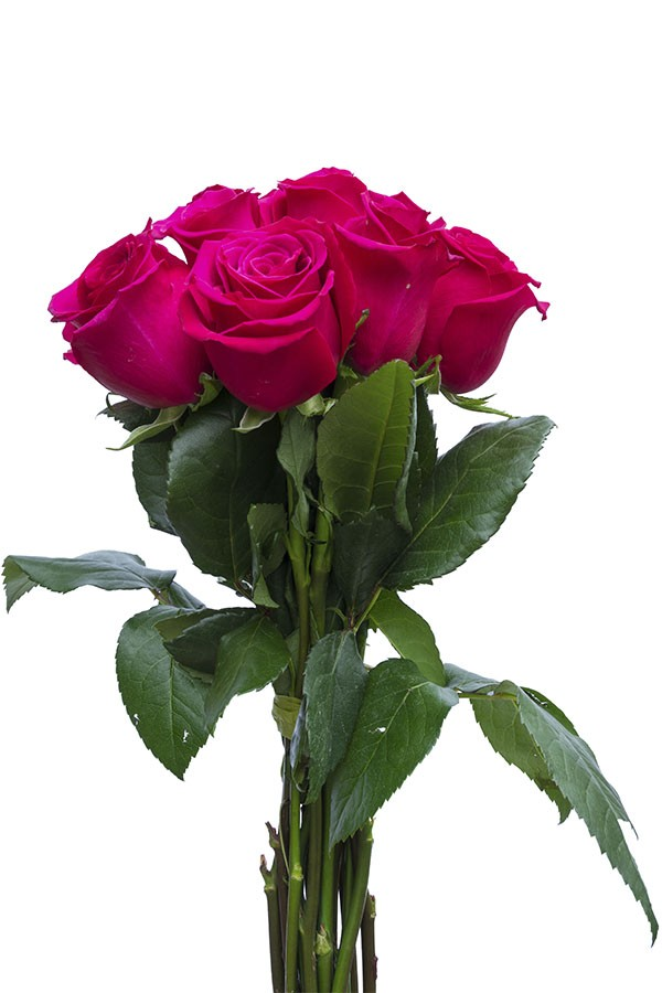 Hot Princess Pink Rose