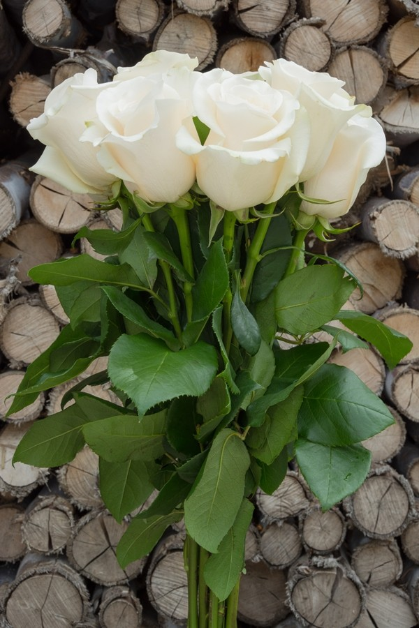 Escimo White Rose