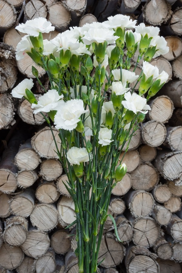 White Mini Carnations