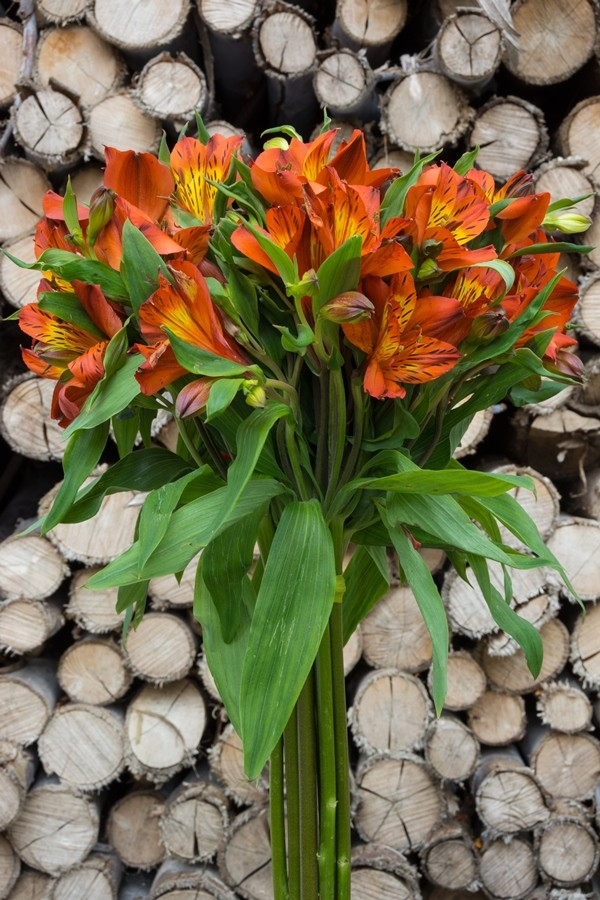 Orange Alstroemerias