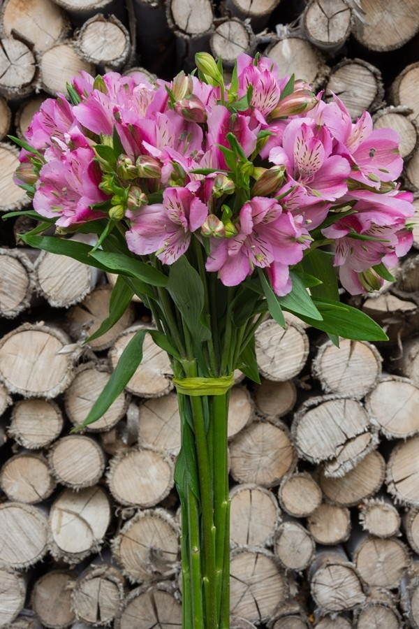 Purple Alstroemeria