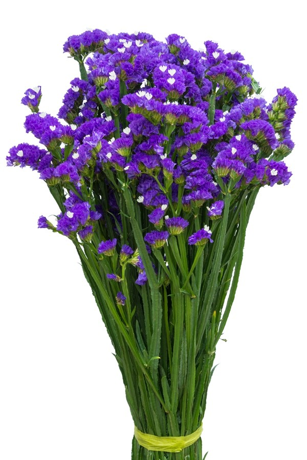 Buy purple statice filler flower plant for floral arrangements purple statice mightylinksfo