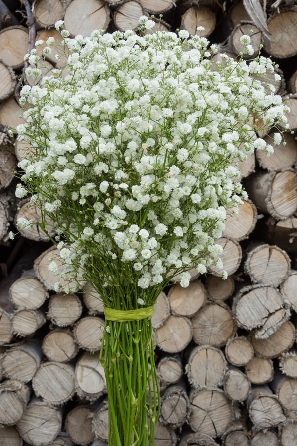 Gypsophila New Love Baby S Breath New Love Bulk Baby
