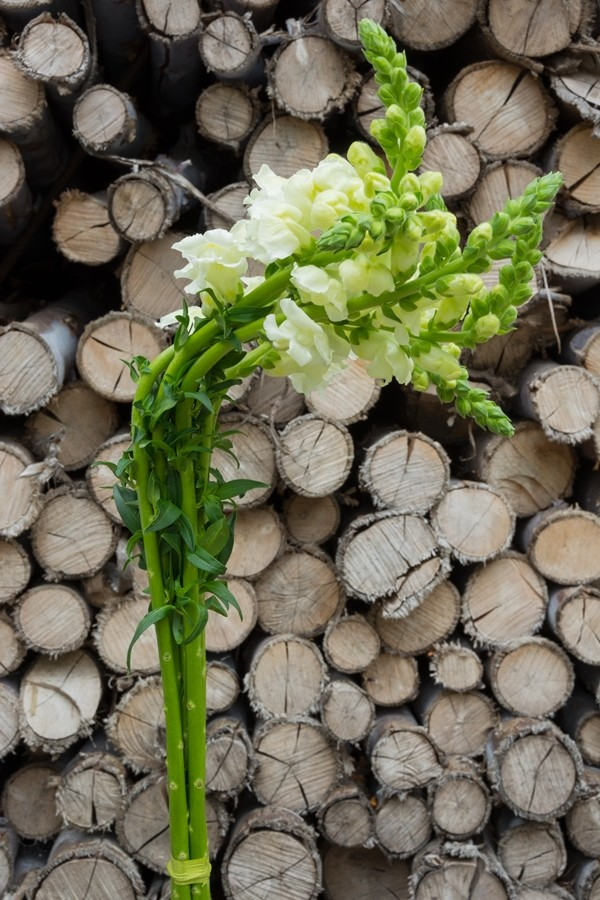 White Snapdragons