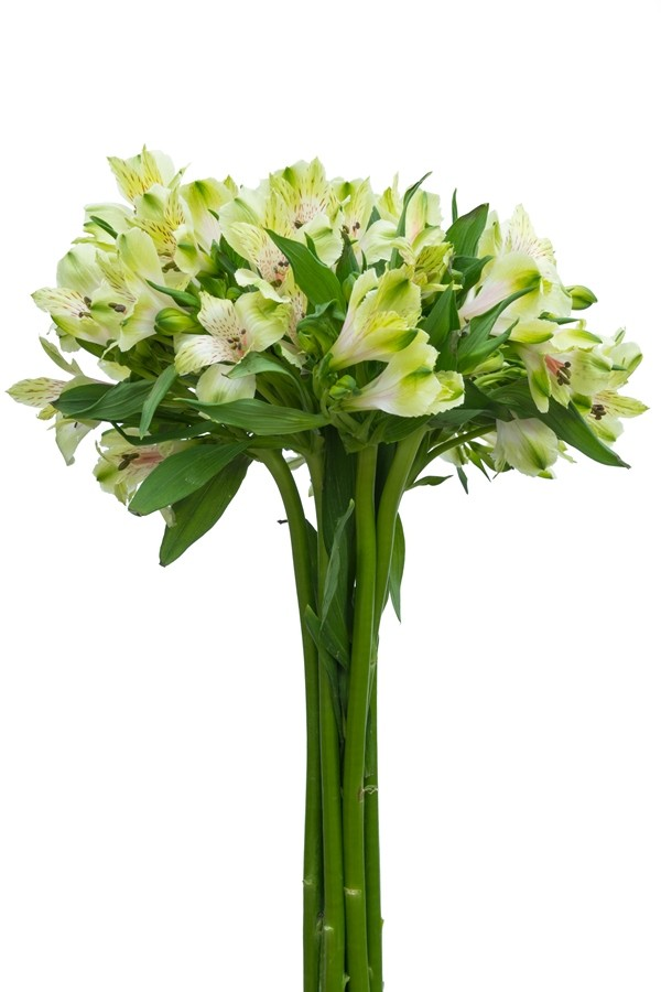 Light Green Alstroemeria