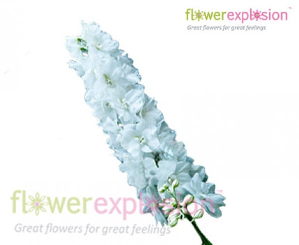 Fresh-Cut White Delphinium