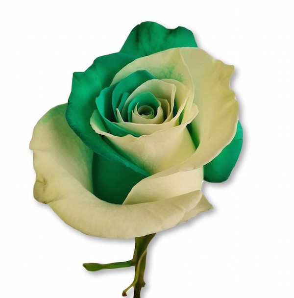white and green rose