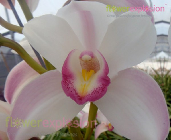 White & Pink Cymbidium