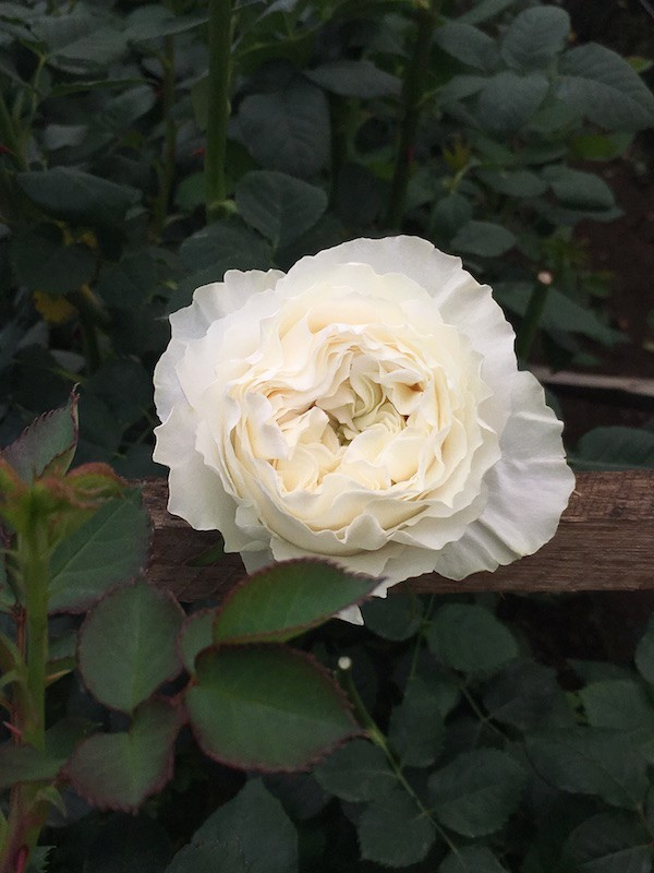 White Cloud | Ivory White Garden Rose