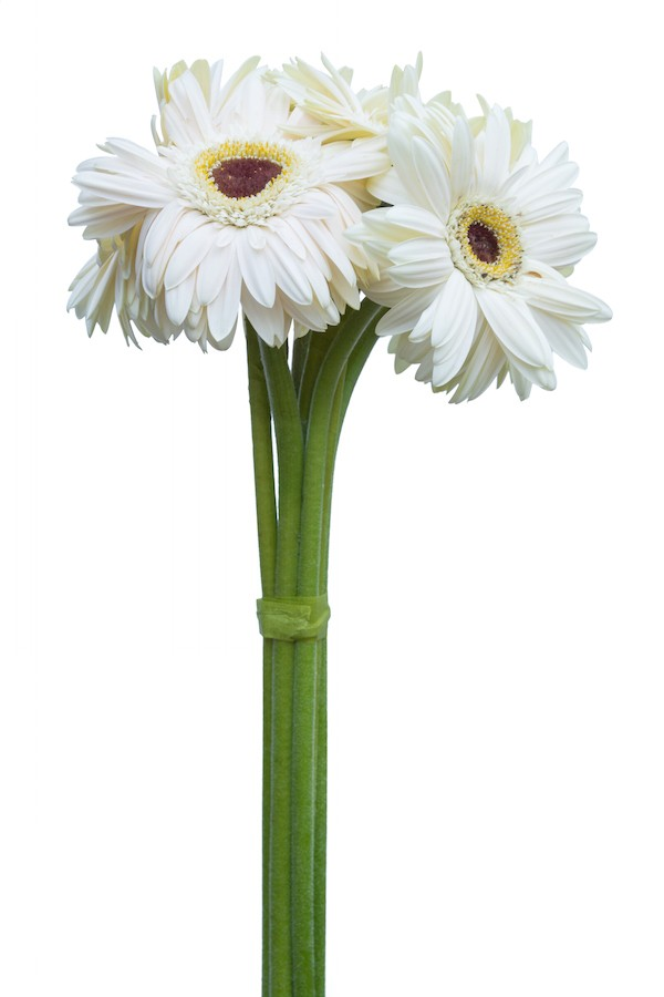 White Gerbera Daisy Dark Eye