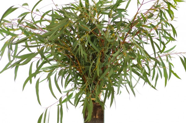 eucalyptus willow fresh eucalyptus greenery flower
