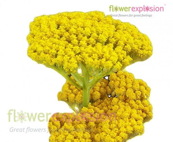 Yellow Achillea