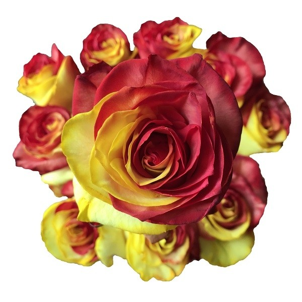 yellow and red tinted rose