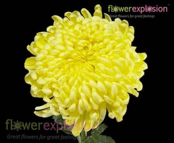 Wholesale spider yellow football mum flower bouquet online for sale yellow football mum mightylinksfo