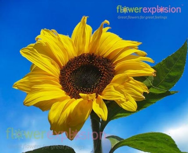 Wholesale Large Natural Yellow Sunflowers For Wedding Arrangements Flower Explosion