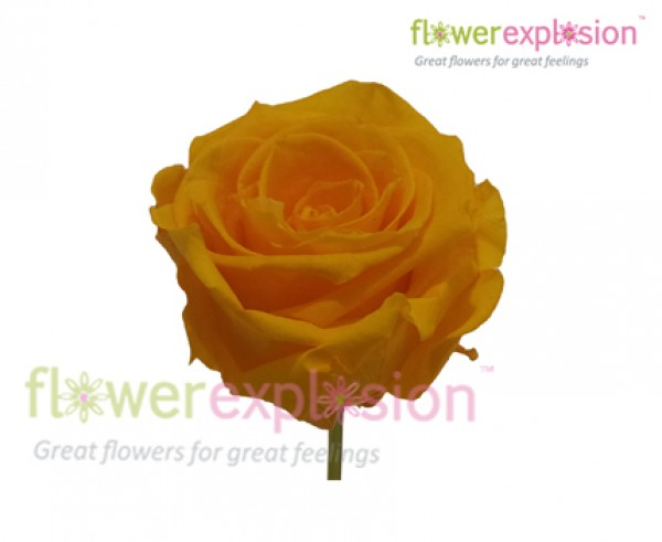 Yellow Preserved Rose